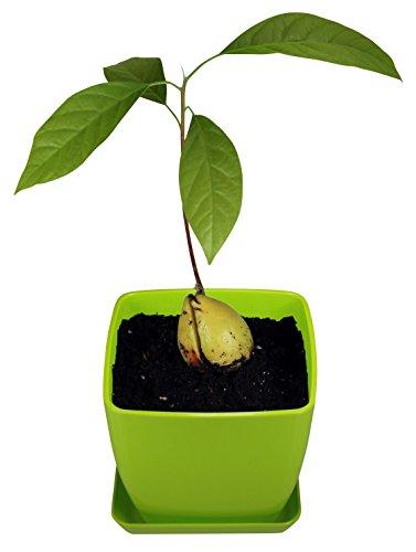 AvoSeedo Set with Plant Pot