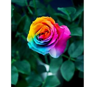 Dealglad-1000Pcs-Beautiful-Rainbow-Rose-Seeds-Multi-colored-Rose-Seeds-Rose-Flower-Seeds-0-3